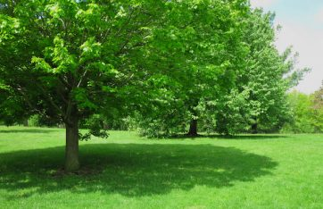Shade and Ornamental Trees