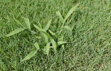 Weed Grass Crabgrass Bermuda