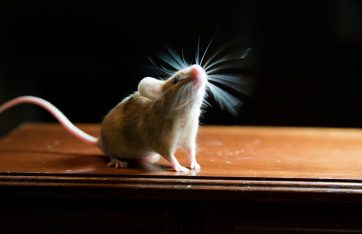 mice are a common pest problem